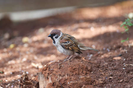 Sparrow are docile birds that are small, brown-gray, fat, short-tailed, and have a strong black beak that eats seeds and small insects.