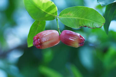 Guava or syzygium aqueum shaped like a bell at the end there is a crown or fruit petal the color of this fruit varies from white green yellowish green pink bright red to dark redt The outer skin is shiny like waxed.