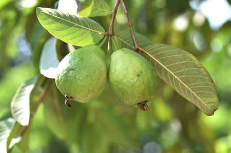 Guava flesh is not too runny the color is white and there is a small red seed is located on the inside of its shape is usually almost round the outside yellowish green 写真素材