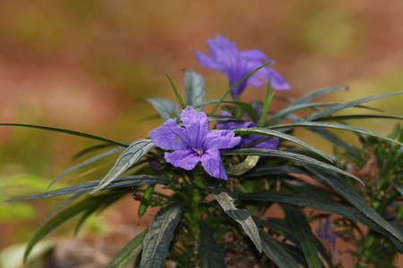 Purple flowers bloom with a few leaves and green stems in the morning in the garden Banco de Imagens - 137891475