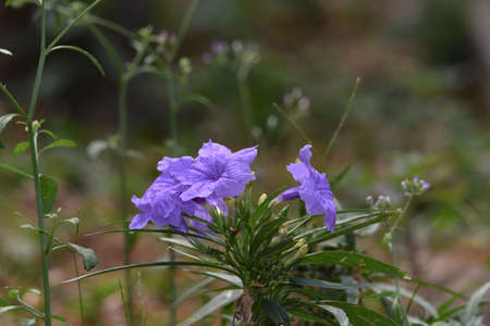 Purple flowers bloom with a few leaves and green stems in the morning in the garden Banco de Imagens - 137892502