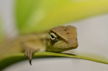 the chameleon is coarse and textured like a dark, four-legged snake scales with a long tail with the head shaped like a serrated perched on a branch of a starfruit tree leaf