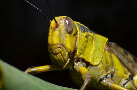 the yellow grasshopper with round oval gray eyes has an antenna on the head with a yellow-brown winged pattern