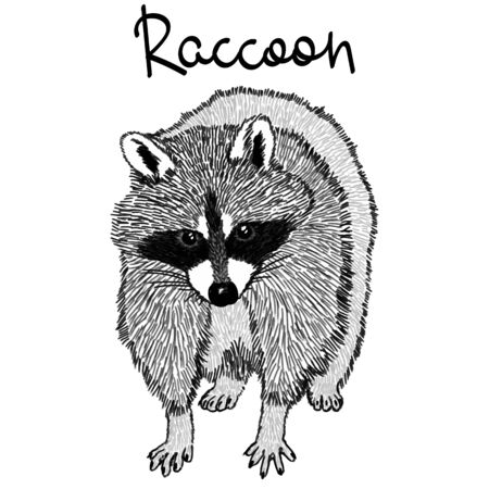 Raccoon - realistic graphic vector illustration. Black and white portrait in style of engraving, isolated on a white background, design element for logo or template. Cute animal of North America.