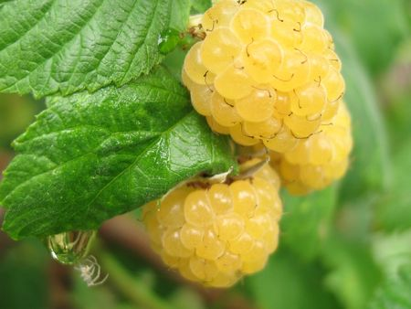 bacca: Golden raspberry in the summer garden. Stock Photo