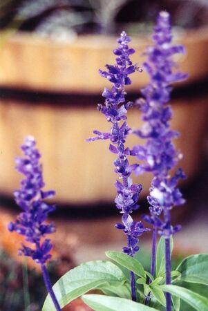 purple lilac Banco de Imagens