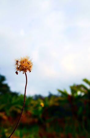 The dandelion photo