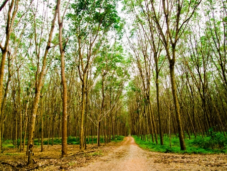 On the way of Rubber tree forest5 Stock Photo