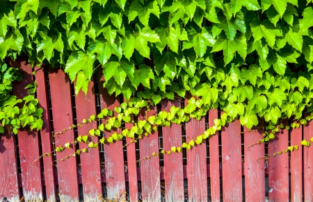 Red wooden wall with vine photo