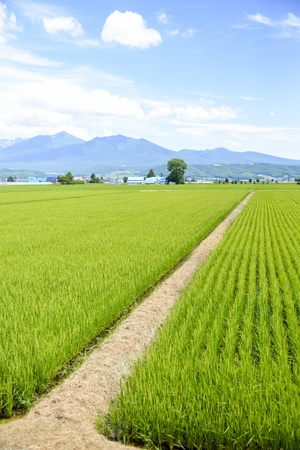 Green rice fields in Japan1