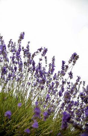 Plenty of lavender flower photo
