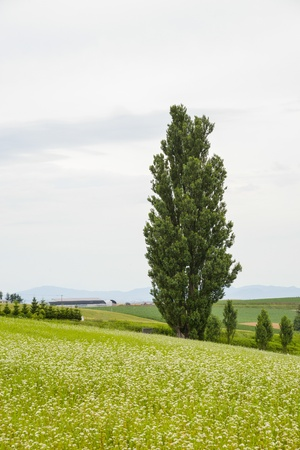 poplars: A poplar tree in the field of flower potato Stock Photo