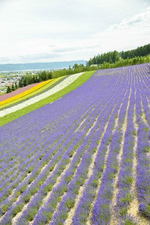 Colorful Lavender farm