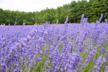 Colorful Lavender farm photo