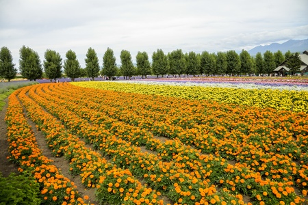 Row of orange flower in Farm photo