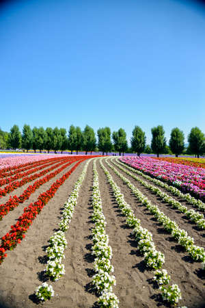 Colorful flower in the row photo