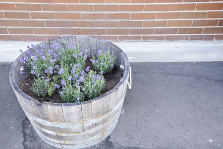 Lavender flower in wooden pot photo