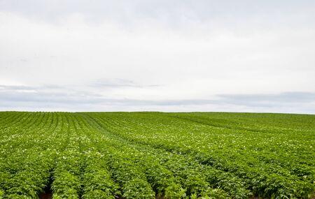 potato field: Plenty of potato flower with cloudy sky