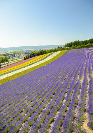 Colorful flower in the row Stock Photo - 22297458