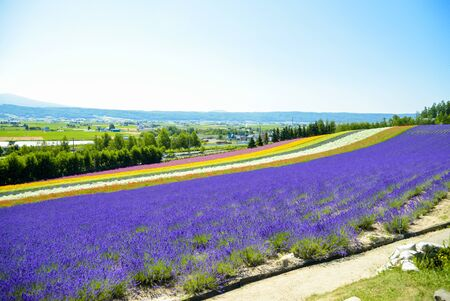 Lavender and colorful flower in the field photo