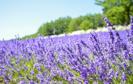 biei: Lavender field with blue sky
