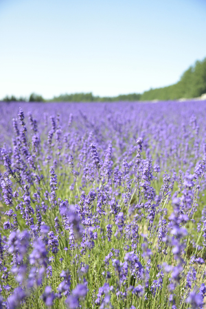 Lavender field with blue sky photo