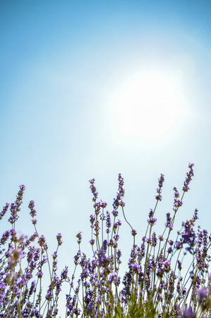 Lavender flower with blue sky photo