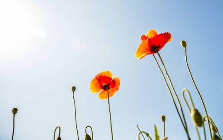 Orange poppy flower with blue sky photo