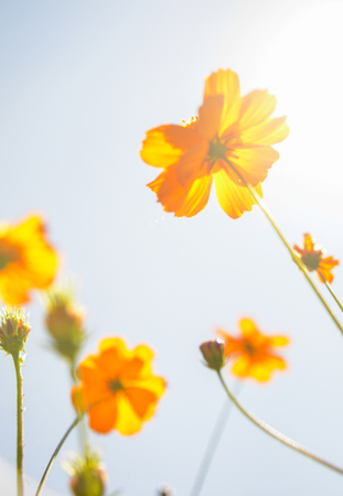 Yellow Cosmos flower with sunshine photo