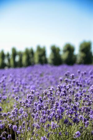 Lavender flower field with blue sky photo