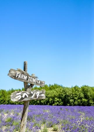 Lavender in Tomita farm Japan Stock Photo