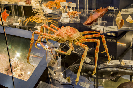 Taxidermy spider crab in National Museum of Nature and Science Japan