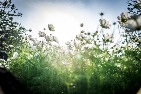 Cosmos fleurs blanches dans le garden8