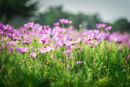 Purple cosmos flower in the garden1