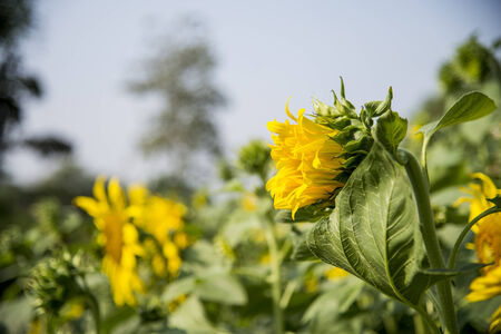 Young sunflower in the field1