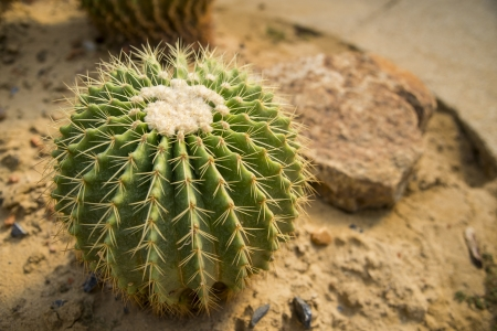 Echino cactus on desert field3