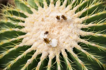 White flower of Echino cactus1