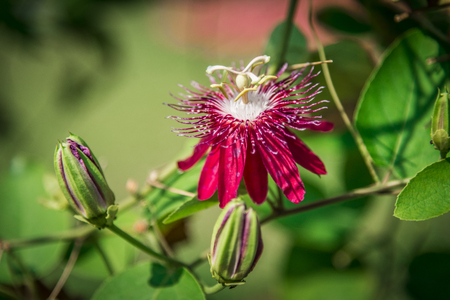 Red passiflora flower1 photo