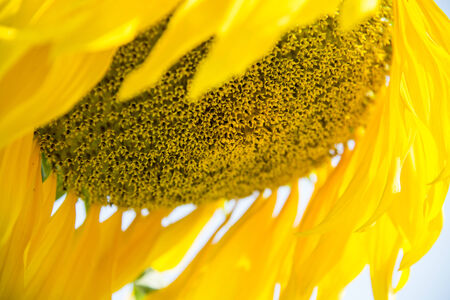 Seeds of Sunflower1 Stock Photo