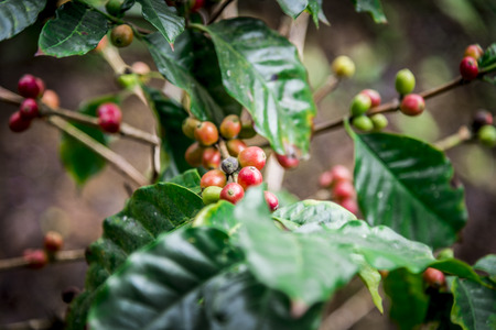 kona: Coffee beans on the tree1