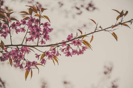Pinky Wild Himalayan Cherry flower blossom