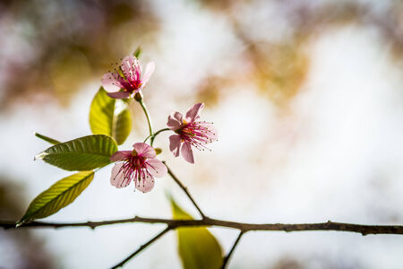 Wild Himalayan Cherry flower blossom with sunlight