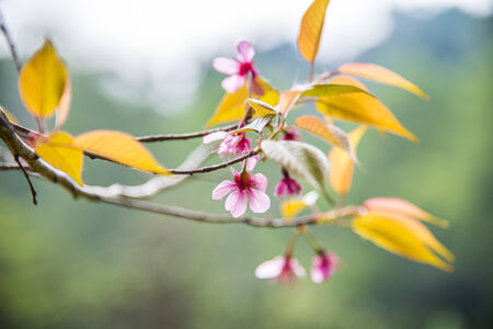 Wild Himalayan Cherry flower blossom on the tree