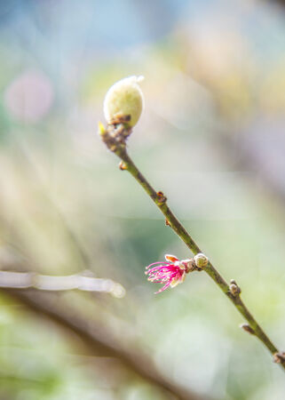 Young Pinky Wild Himalayan Cherry flower on the tree