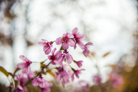 Pinky Wild Himalayan Cherry flower blossom on the tree
