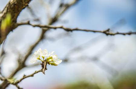 White cherry flower blossom