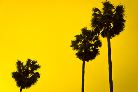 Silhouette toddy palm tree photo
