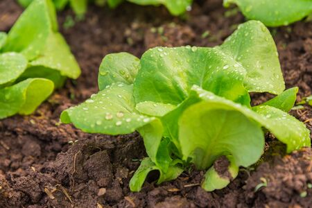 butter head: Close up view of Fresh salad leave Butter head lettuce in the Organic farm with soft focus