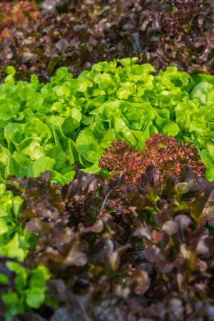 butter head: Fresh salad leave Butter head lettuce and Red oak in the Organic farm with soft focus Stock Photo