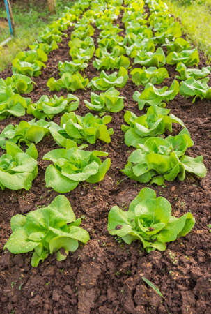 butter head: Row of Fresh salad leave Butter head lettuce in the Organic farm with selective focus